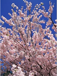 fruit trees in bloom in the spring