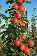 gala apples climb up a spindle